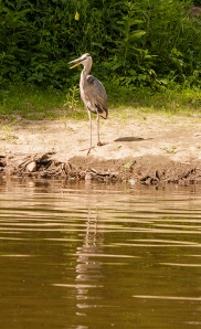 Blue Heron on the Cuyahoga River.  (photo by Eric Helle)