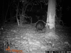 Beaver hard at work. Courtesy of Wilderness class of KSU