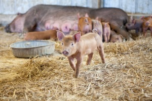 A piglet on Breakneck Acres in ventures away from its mother to explore. This litter of pigs is the third one to be born on the farm in Revenna, Ohio. photo by Stephanie Weiss